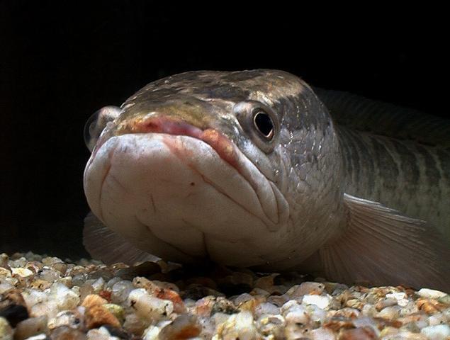 Ловля рыбы змееголова на Балхаше