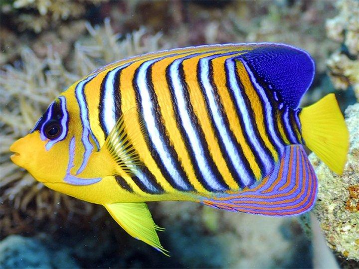 Рыба ангел для аквариума