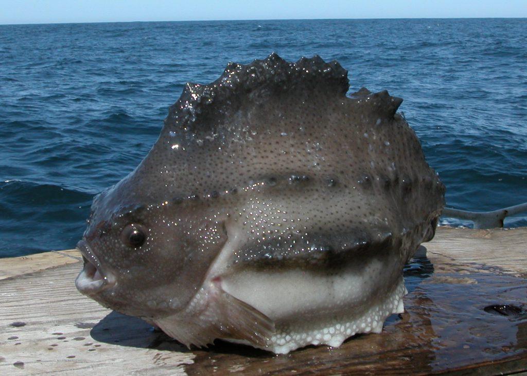 Воробей рыба фото