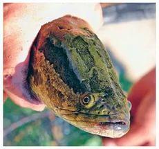 змееголов рыба, как чистить